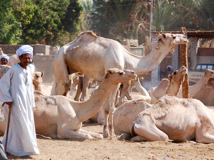 Camel market of darau